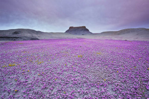 Purple Flowers Field of Badlands Utah by Guy Tal